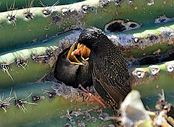 Starling chicks emerge from a fallen saguaro cactus in Scottsdale, Arizona.