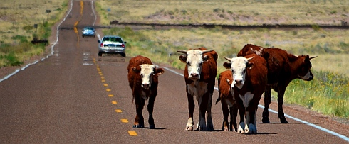 Cows watch us as we drive through Petrified Forest National Park, Arizona.