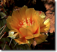 Cactus flower, Natural Bridges National Monument