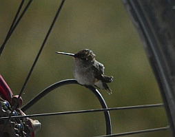 A hummingbird sits on my bike's derailleur cable.