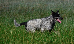 Dog bounding through tall grasses at Koosharem Reservoir, Utah.