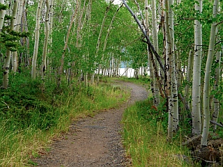 Aspen grove and bike path, Fish Lake, Utah.