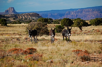Burros on Jackass Flats, San Rafael Swell, Utah